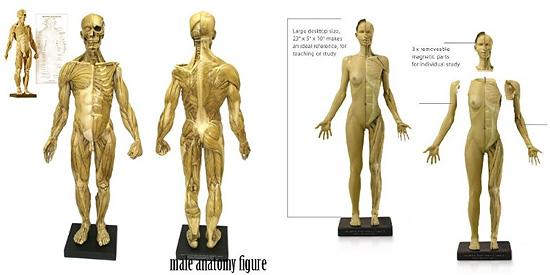『FREEDOM OF TEACH』製の人体模型はAmazonでも取り扱い開始