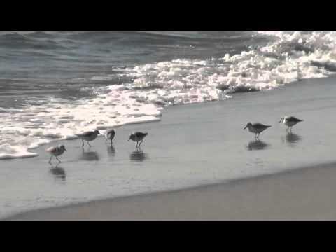 砂浜の鳥:シギ