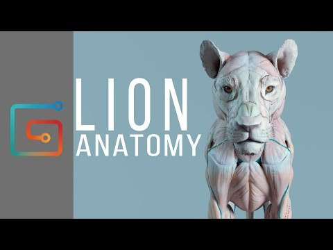 Lion anatomy by Maria Panfilova