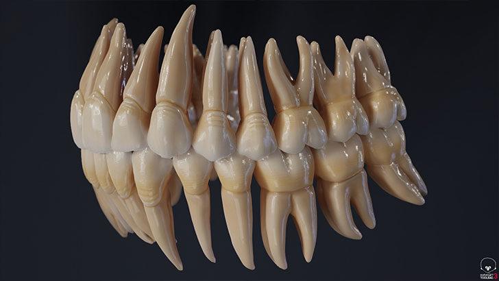 歯も、歯根まで用意されているようです