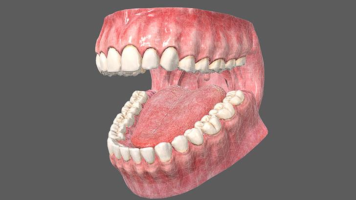 歯茎 の CG モデルデータをダウンロードしてみた